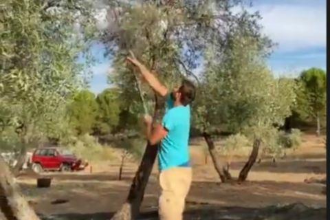 Ο Φελίπε Ρέγιες μαζεύει ελιές