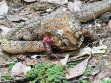 Ανατριχιαστική ανακάλυψη: Ποια φίδια τρώνε ένα-ένα τα όργανα βατράχων ενώ είναι ακόμα ζωντανά