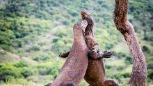 Φωτογραφία των δράκων του Κομόντο που έγινε viral και προκαλεί ανησυχία για το Jurassic Park της Ινδονησίας