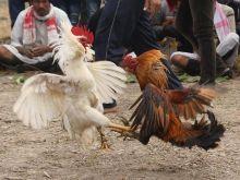Η εκδίκηση του κόκορα: Πώς σκότωσε το αφεντικό του κατά τη διάρκεια κοκορομαχίας προκαλώντας του ακατάσχετη αιμορραγία
