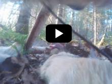 Κάμερα στο κολάρο άγριου λύκου καταγράφει για πρώτη φορά την καθημερινότητα του