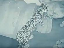 Τρείς λεοπαρδάλεις ξέφυγαν από ζωολογικό κήπο - Το κράτησαν μυστικό για μία εβδομάδα