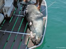 Απέραντη οργή και θλίψη: Νεκρός από ψαροντούφεκο ο «Κωστής», η διάσημη φώκια της Αλοννήσου