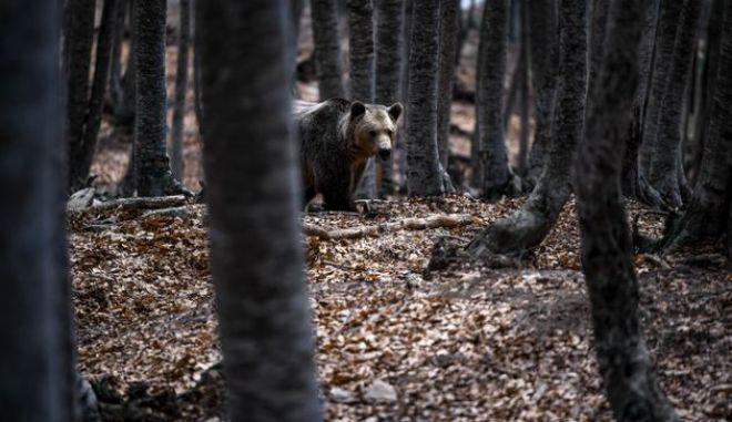 Κοζάνη: Επίθεση αρκούδας σε κυνηγό - Πώς τον γλίτωσε το κινητό του τηλέφωνο