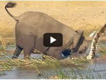 Βίντεο: Ελέφαντας ποδοπάτησε κροκόδειλο μέχρι θανάτου